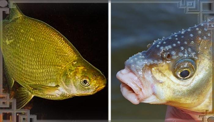Морда рыбы лещ