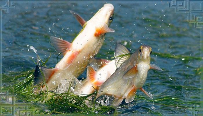 Рыба густера на нересте