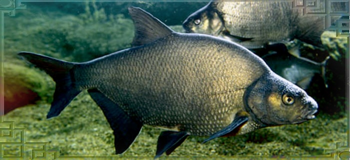 Рыба лещи вид сбоку