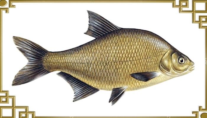 Рыба лещ сбоку