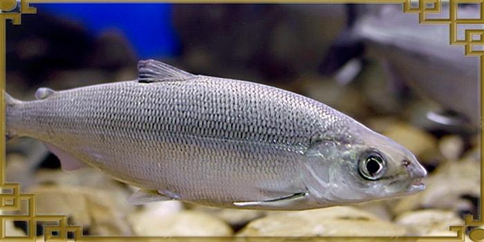 Плывущая рыба