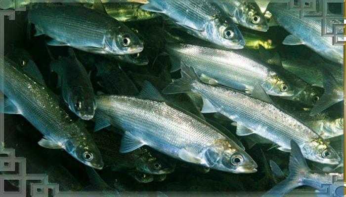Косяк рыб на нересте