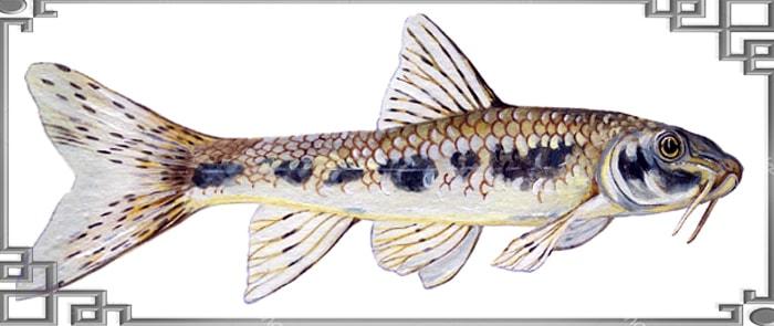 Вид рыбы пескарь сбоку