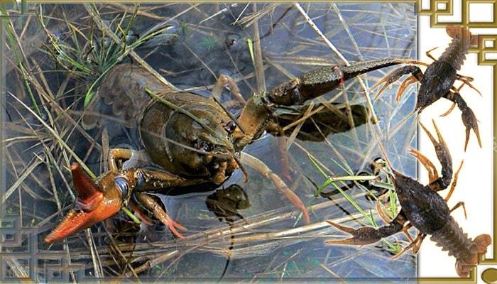 Ловля раков в водной растительности