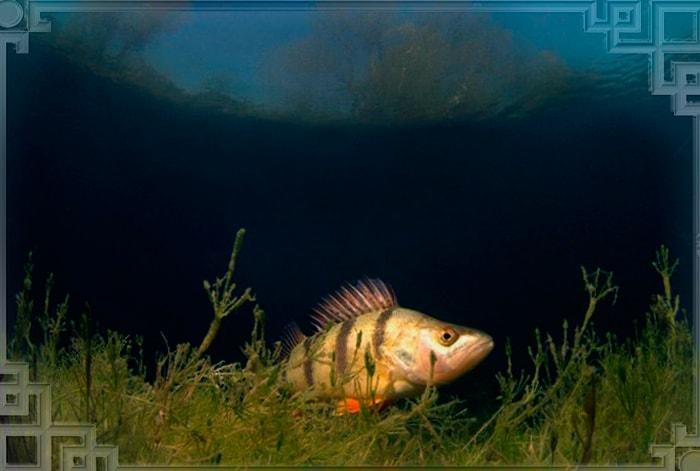 Рыба окунь на дне водоема в темноте