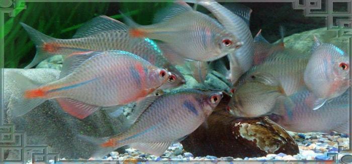 Горчаки в аквариуме
