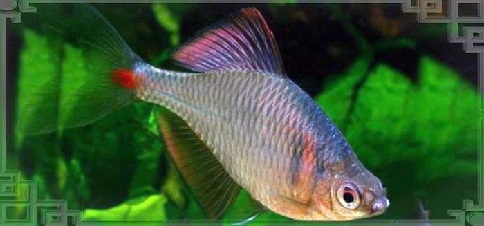 Рыбка горчак плывет