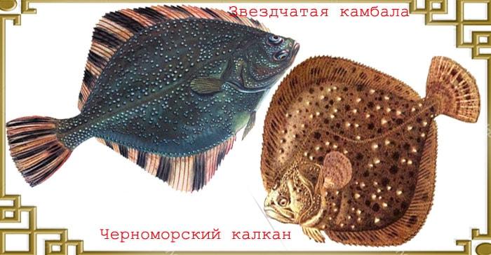 Камбаловые рыбы