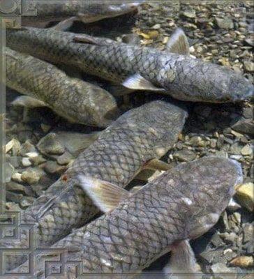 Рыбалка на пеленгаса