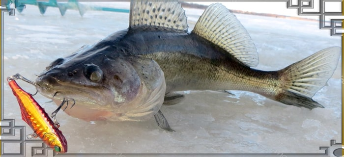 Рыба с раттлином на льду