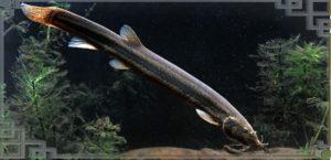 Рыбка вьюн