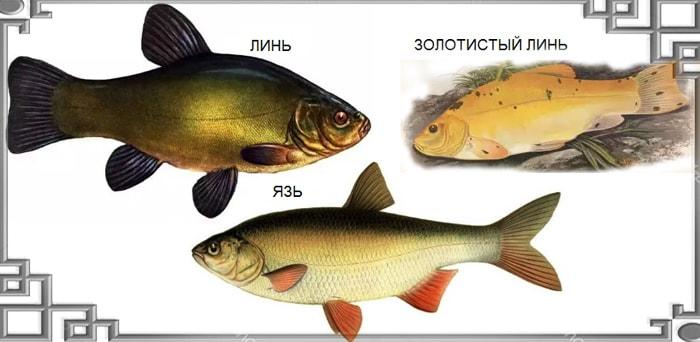 Виды рыбы линь