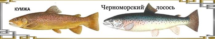 Разновидности лосося