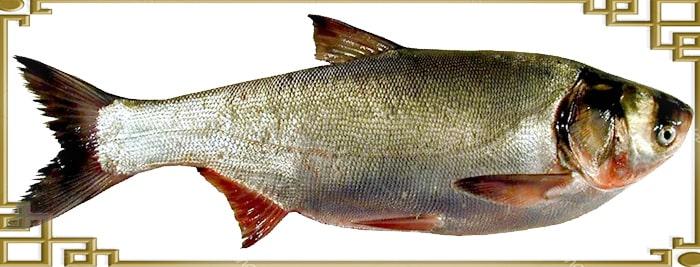 экстерьер рыбы толстолобик