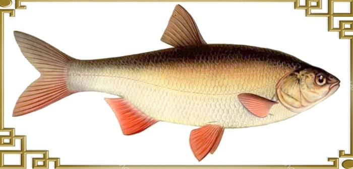 вид рыбы язь сбоку