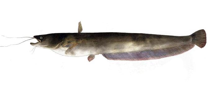 рыба Амурский сом