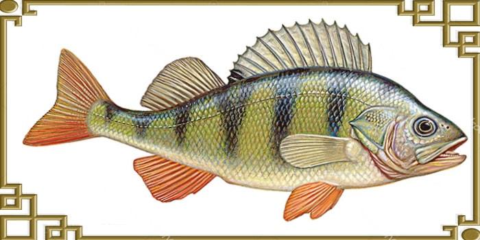 Вид рыбы окуня сбоку