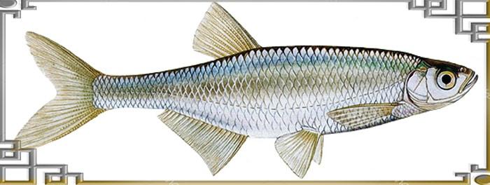 верховодка фото рыба