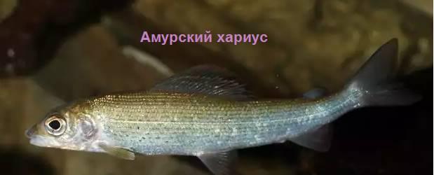 Амурский
