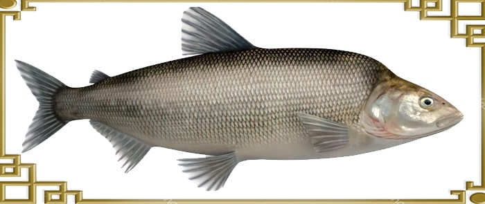 Рыба похожая на муксуна