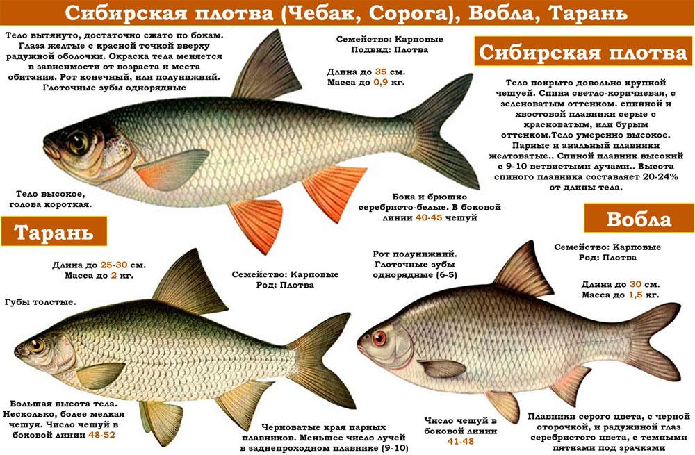 Вобла, Тарань и Сибирская плотва