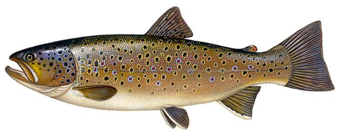 Рыба Кумжа